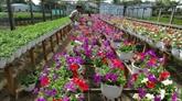 Marché de fleurs du Têt, les horticulteurs sont prêts