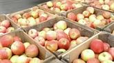 Listeria : plus de 98% des pommes américaines exportées au Vietnam sont sûres
