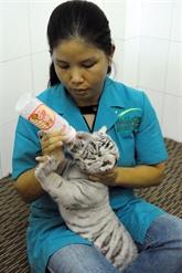 Naissance de tigres blancs au zoo de Hô Chi Minh-Ville