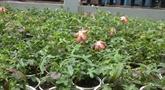 Le ginseng de Phu Yên