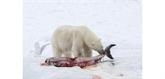 Les dauphins entrent au menu des ours polaires
