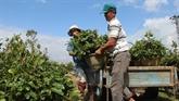 La saison commence au village d'abricotiers de Nhon An