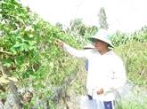 Agriculture bio, avantages et défis pour le delta du Mékong