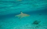 UE : quota de pêche scientifique pour les requins en eaux profondes