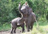 Des éléphants patrouillent en forêt pour sauver leurs cousins sauvages