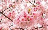 Plantation de cerisiers à Hanoi