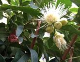 La floraison des pommiers d'eau