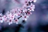 Le Japon offre 100 cerisiers à Dà Nang