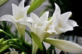 Le lys blanc, symbole du mois d'avril à Hanoi