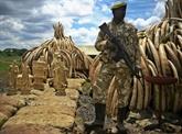 Kenya : pour brûler l'ivoire, le feu ne suffit pas