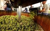 Face au changement climatique, la Champagne invente les cépages du futur