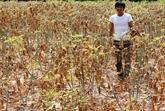 Aide japonaise pour la culture durable du manioc au Vietnam