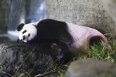 Naissance d'un bébé panda géant dans un parc animalier belge