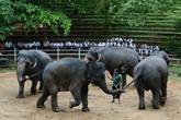 Sri-Lanka : l'éléphanteau domestique, lubie des nouveaux riches