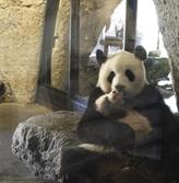 Le bébé panda né en Belgique s'appelle désormais Tianbo