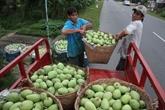 L'Australie autorise l'importation de mangues fraîches du Vietnam