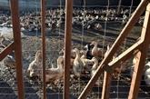 Grippe aviaire : l'abattage des canards étendu à 187 communes en France