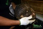 Cinquante-quatre pangolins relâchés dans la nature