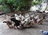 À Lac Thô, le poulet pour la consommation royale