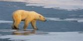 Les polluants chimiques, une autre menace pour les ours polaires