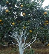 Une bonne récolte d'oranges au village de Pha à Nghê An