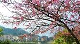 Lào Cai : Sa Pa plantera 3.000 nouveaux cerisiers pour promouvoir le tourisme