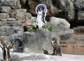 Le Japon pleure son manchot amoureux