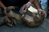 Indonésie : 101 pangolins vivants saisis sur un bateau