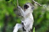 Inquiétudes après la découverte de singes verts en Guadeloupe