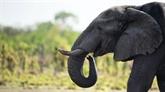 Face au tollé, Trump gèle l'importation de trophées d'éléphants