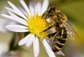 Abeilles : deux nouveaux pesticides sur la sellette devant la justice