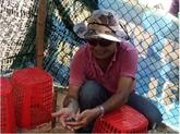 Les sauveurs de tortues marines à Cù Lao Chàm