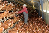 Œuf : L214 demande l'interdiction de tout élevage en batterie d'ici 2025