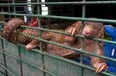 Le trafic de pangolins, casse-tête pour les autorités