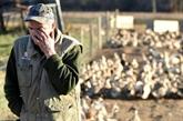 Grippe aviaire en France : 360.000 canards abattus préventivement