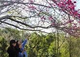 Annulation de la fête des fleurs de cerisiers de Dà Lat