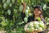 Dông Nai : les mangues de la coopérative Xoài Suôi Lon entrent sur le sol australien