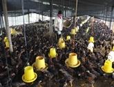 L'embargo de l'Arabie saoudite sur les volailles vietnamiennes sans conséquence