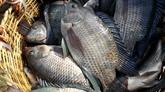 La FAO avertit de la propagation d'un virus mortel affectant les tilapias