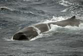 Méditerranée : rorquals, cachalots et globicéphales contaminés par des phtalates