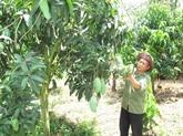 Une compagnie vietnamienne exporte 5 tonnes de mangues vertes en Australie chaque semaine