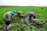 La vallisnérie spiralée fait son show dans le Dông Thap Muoi