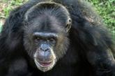 Une chimpanzée déprimée se refait une santé au Brésil