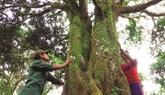 Des canneliers centenaires préservés à Quang Nam