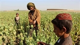 Du pavot à l'héroïne, les talibans afghans sur toute la ligne