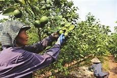 La filière des citronniers tu quy à Hung Yên