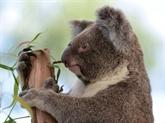 Les Australiens indignés par la découverte d'un koala vissé à un poteau