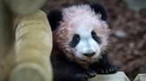 À Beauval, première sortie publique du bébé panda, devant des visiteurs conquis