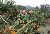 À Cao Phong, les agrumiculteurs savourent les fruits de la croissance