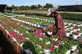 Une bonne saison de récolte pour le village de fleurs de Sa Déc
